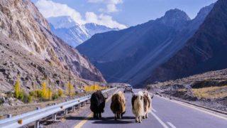 舗装された道路を歩く4頭のヤク