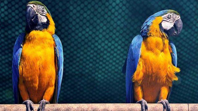 そっぽを向く二羽のオウム