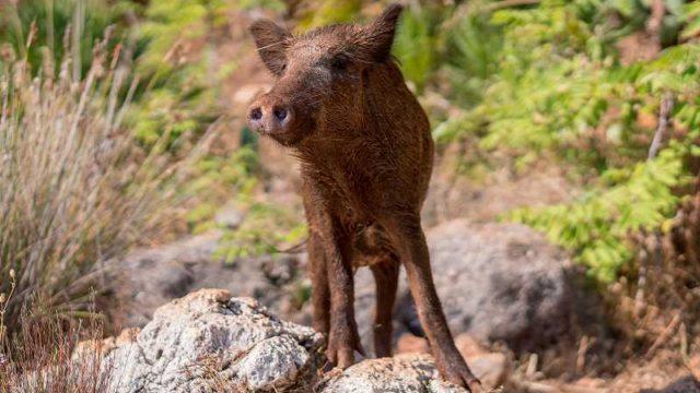 岩場に立つ子供のイノシシ