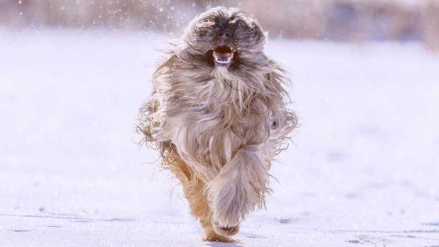 走ってくる毛がモサモサの犬