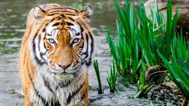 こちらを睨むトラ