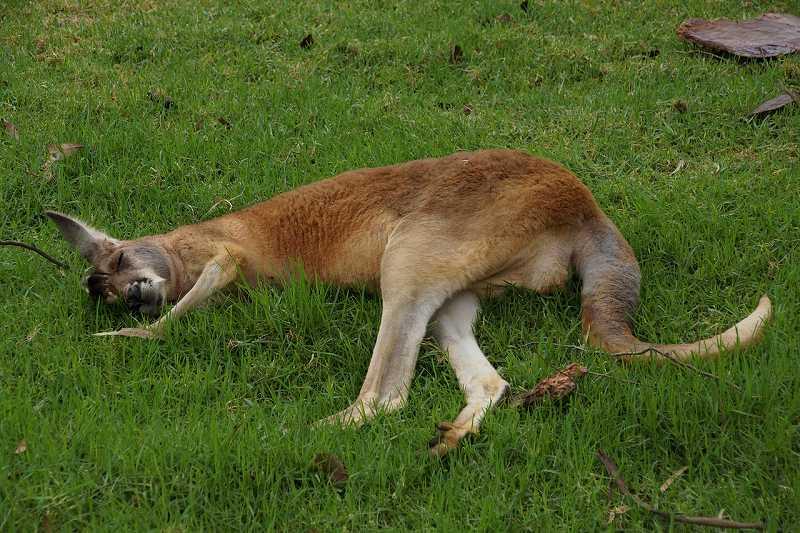 寝転がるカンガルー