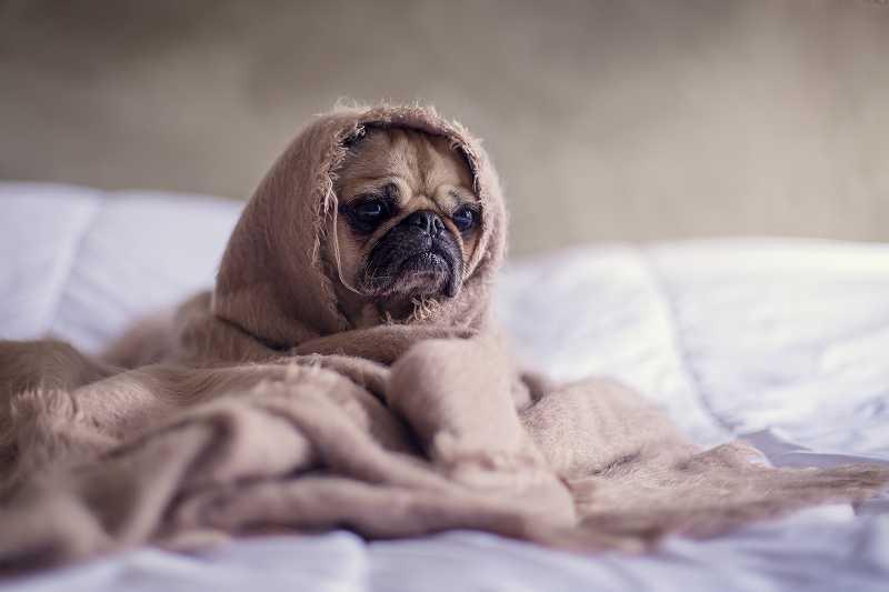 毛布にくるまれて顔だけ出しているパグ