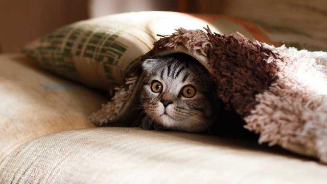 布団から顔をのぞかせる仔猫
