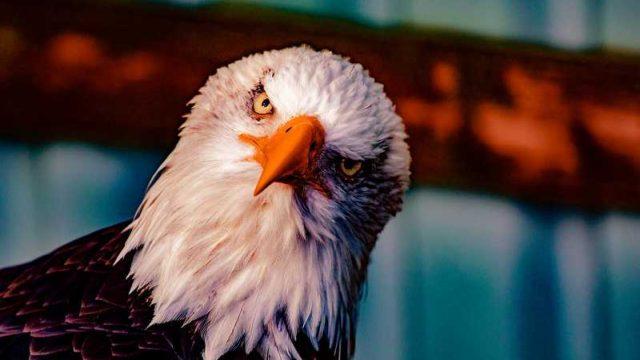 頭をかしげる鷲