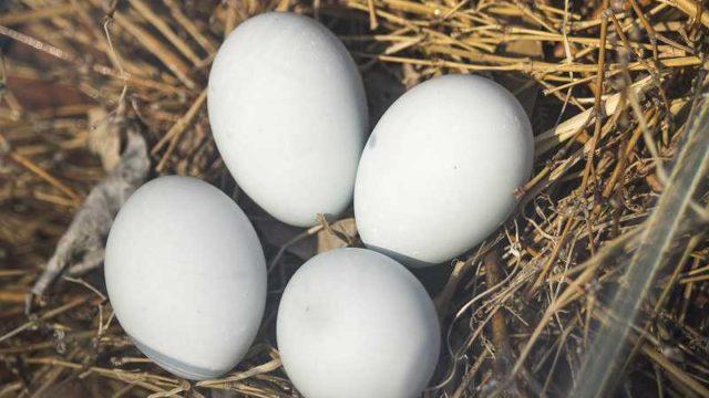 巣の中にある鳥の卵