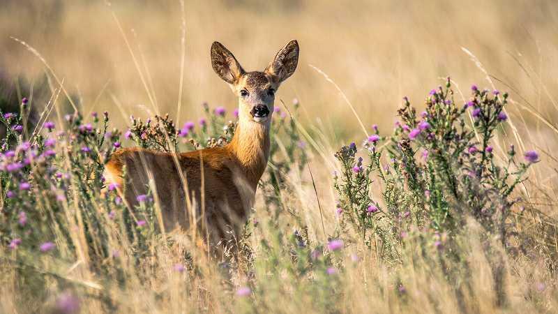 野原の中でこちらを見ている小鹿