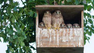 巣箱の中にいるフクロウの家族