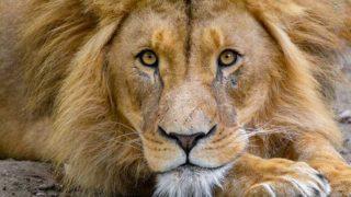 面白そうな顔でこちらを見るライオン