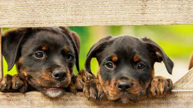 塀からのぞき込む二匹の子犬