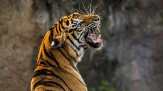 振り向いて背中越しに吠えるトラ