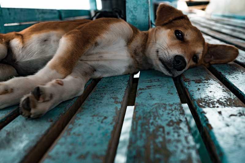 横になる犬