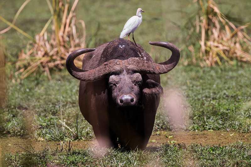 水牛と背中に乗る鳥