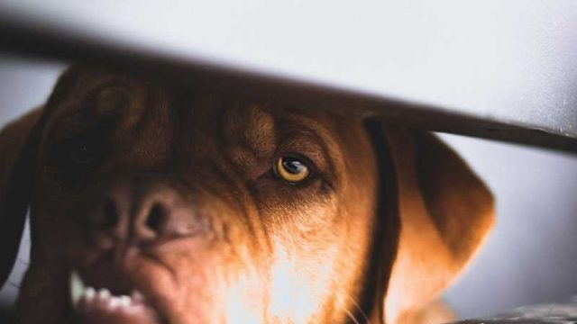 怖い顔の犬