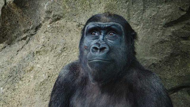 上を見るチンパンジー