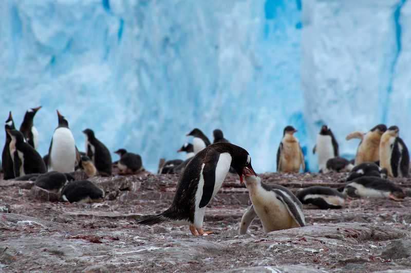 子どもに餌をあげるペンギン