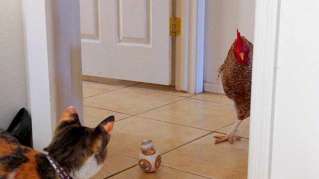 ネコとにらみ合う鶏