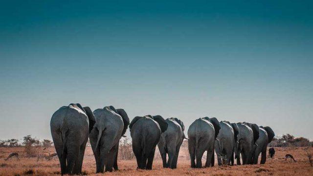 歩いている象の行列の後ろ姿