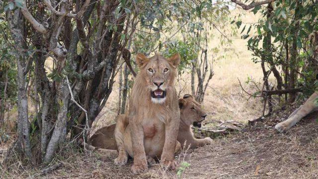 目を丸くしているライオン