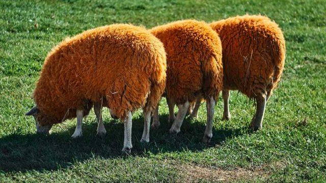 並んだ羊のお尻