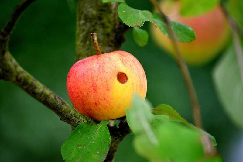 虫食いのリンゴ