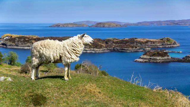 海を眺める羊